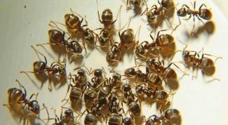 Способы избавиться от домашних муравьев
