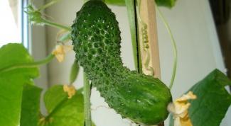 Как вырастить огурцы в квартире