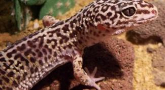 Как содержать ящерицу в домашних условиях
