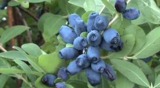 Как ухаживать за жимолостью, чтобы она дала плоды