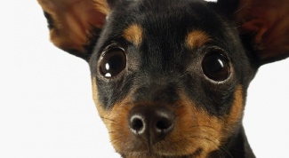 Who is better: toy Terrier or Chihuahua?