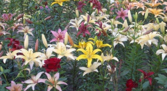 As one flowerbed to plant roses and lilies