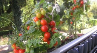 Ранние сорта томатов для балконов и домашних огородов