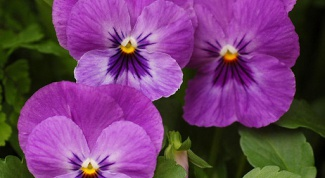 Как выращивать виолу