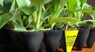 Секрет выращивания здоровой рассады