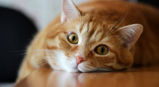 What to feed a cat with a sick stomach