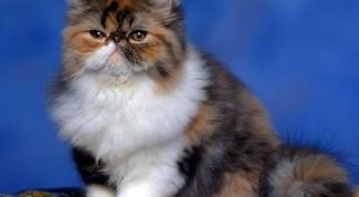 Правда ли что трехцветными бывают только кошки