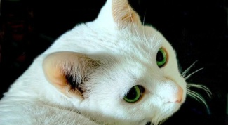 Why it is said that white cats are deaf