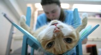 Как кастрируют котов
