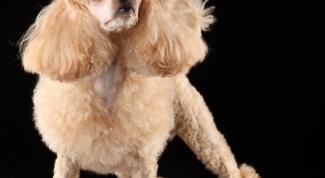 Что делать , если у собаки болят ноги