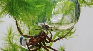 Чем удивителен паук-серебрянка