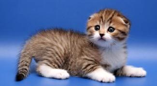 Как узнать, сколько стоит определенная порода кошки