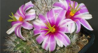 Как ухаживать за кактусом, чтобы он зацвел