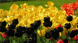 Как высаживать тюльпаны