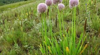Выращиваем лук-слизун