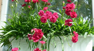 Как вырастить гвоздику на балконе