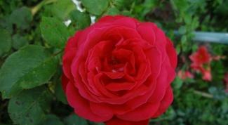 Как сохранить розы до посадки