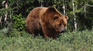 What animals live in the Krasnoyarsk region