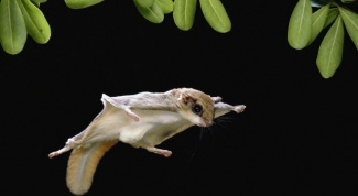 What to feed a flying squirrel at home