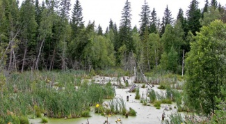 What animals live in the swamps