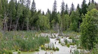 Какие животные живут на болотах