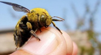 How dangerous is the bite of the bumblebee