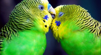 How to distinguish a male budgerigar female