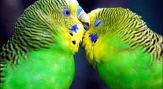 Как отличить самца волнистого попугайчика от самки