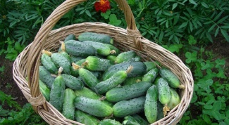 Raise the yield of cucumbers
