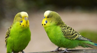 Why die budgies