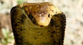 Откуда у змеи яд