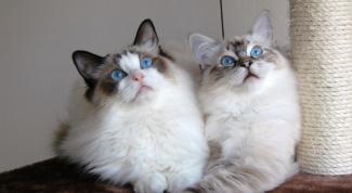Почему появляются глисты у домашних кошек