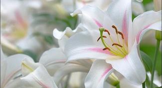 Как размножить лилии из чешуек