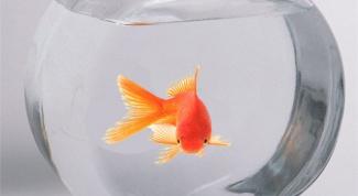 В какой аквариум поселить золотую рыбку?