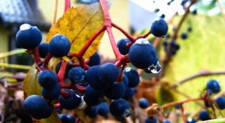 Как сажать дикий виноград