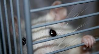 Как живут домашние крысы