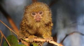 Какая обезьяна самая маленькая