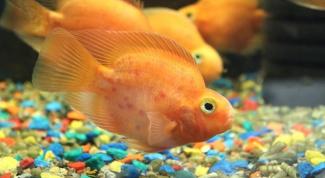 Рыба-попугай: плюсы и минусы