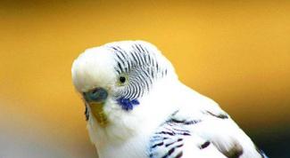 Как отучить волнистого попугая кусаться