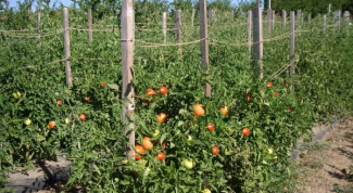 As pasynkovat tomatoes
