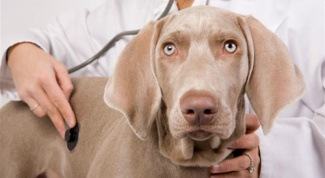How to treat a sick liver in a dog