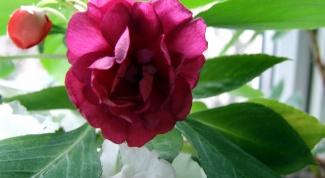 Трудности в выращивании недотроги