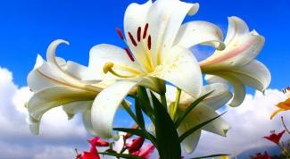 Как ухаживать за белой лилией