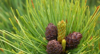 How to plant pine trees on a plot