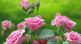 Посадка и обрезка роз весной: правила и нюансы