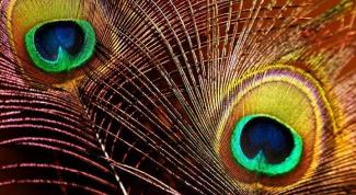 Как можно использовать павлиньи перья
