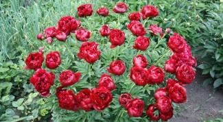 Как добиться пышного цветения пиона