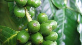 Похудение на зеленом кофе. Реальность или миф?
