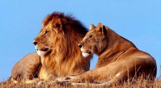 Как живет семья львов