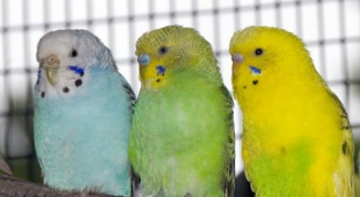 How old are the budgies